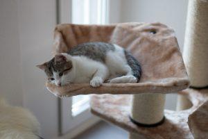 phéromones arbre à chat
